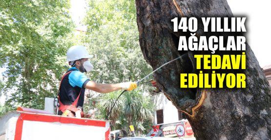 140 yıllık ağaçlar bakıma alındı