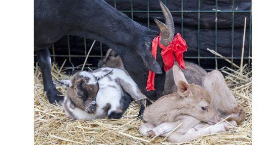 Keçi, yavru alageyiğe süt anne oldu