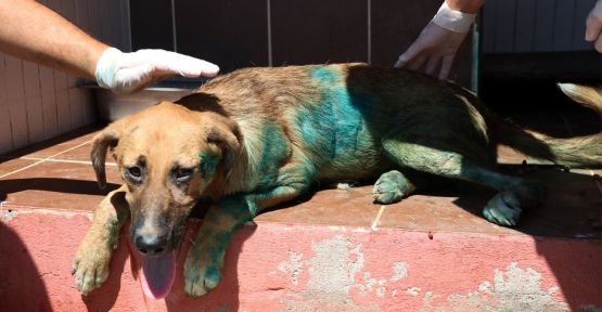 Kesici aletle yaralanan köpek tedaviye alındı