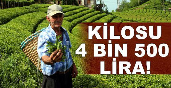 Kilosu 4 bin 500 liradan satılan beyaz çayın hasadı başladı