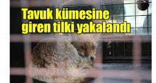 Tavuk kümesine giren tilki yakalandı