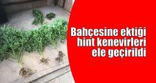 Bahçesine ektiği hint kenevirleri ele geçirildi