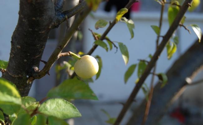 Çanakkale'de erik ağacı aralıkta meyve verdi