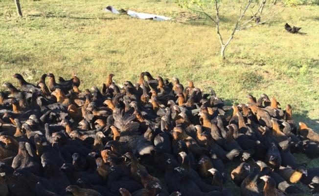 Kocaeli Büyükşehir Belediyesi 2019'da çiftçilere 9 bin gezen tavuk dağıttı