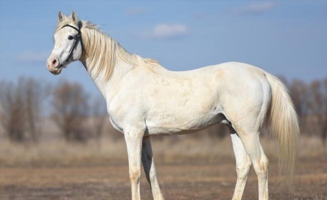 Şampiyon atların yetiştirildiği TİGEM haralarında