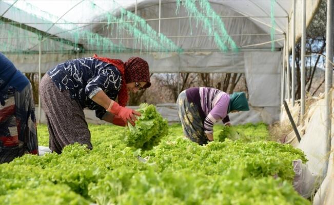 Söğüt'teki seralarda marul hasadına başlandı