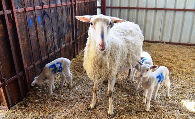 Üniversite çiftliğinde doğan dördüz koyunlar