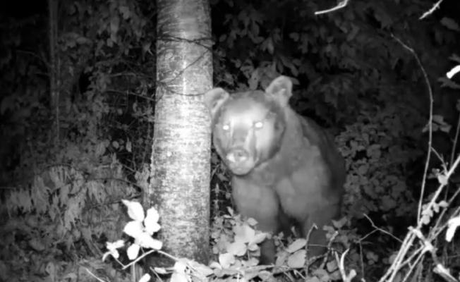 Yiyecek arayan ayı fotokapanla görüntülendi