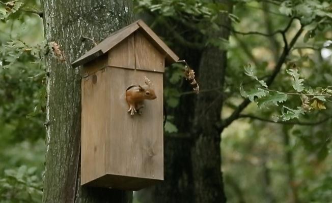 Sincap ailesi kuş yuvasını mesken tuttu