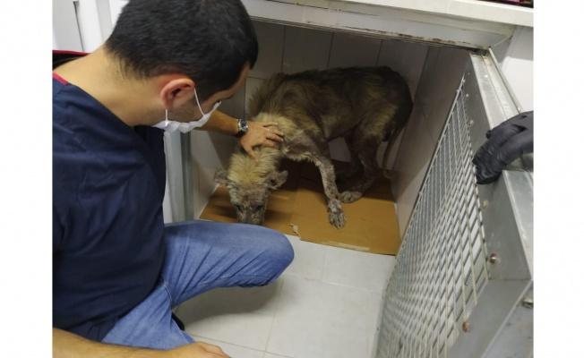 Veterinerler hasta köpeğin yardımına koştu