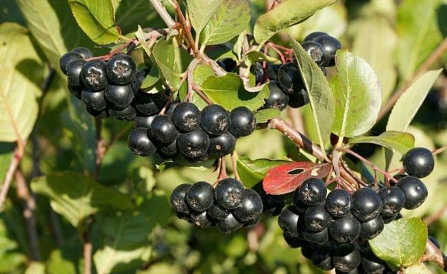İzmit Belediyesi süper meyve aronya için geri sayıma başladı