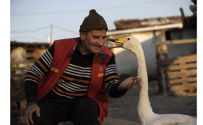 """Mektup götürdüğü köyde bulduğu kuğu ile postacının """"garip"""" dostluğu 37 yıldır sürüyor"""