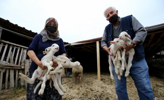 Kırklareli'nde bir koyun altız doğurdu