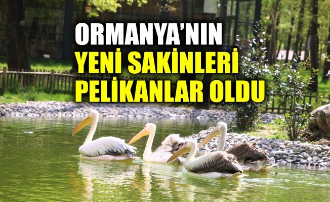 Ormanya'nın yeni sakinleri Pelikanlar oldu