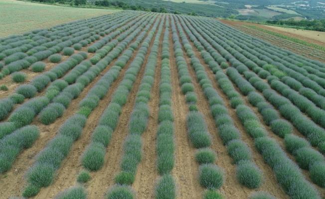 ÜRETİMDEN İHRACATA TARIM - Trakya'da kıraç araziler lavanta ile değerlendiriliyor