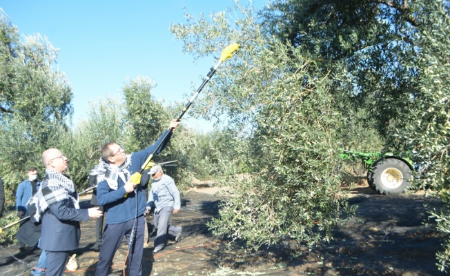 Ayvalık'ta merhum iş adamı Ahmet Sucu anısına zeytin hasadı etkinliği düzenlendi