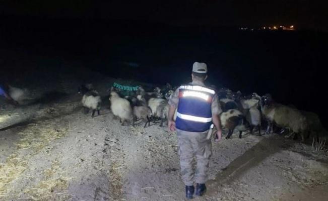 Batman Kozluk'ta koyun hırsızları yakalandı