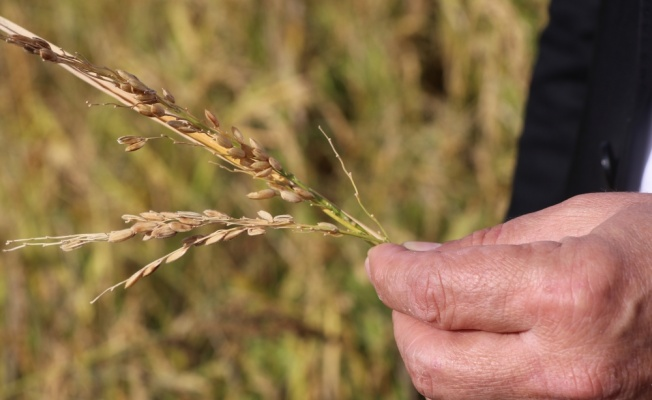 Edirne'de dolu nedeniyle çeltik tarlaları zarar gördü