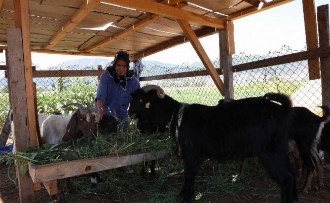 Muğla'da Kıl Keçisi Desteği başvuruları devam ediyor
