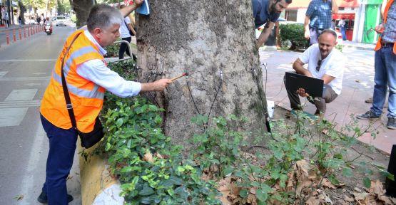 Devrilme riski yüksek çınar ağacı kesilecek