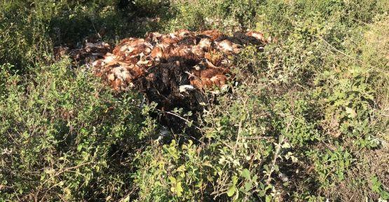 Kuyuya atılmış ve gömülmüş tavuklar bulundu