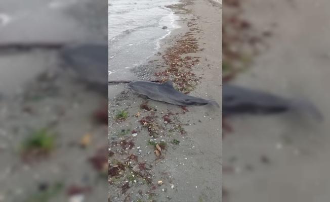 Altınova'da kıyıya vurmuş ölü yunus bulundu