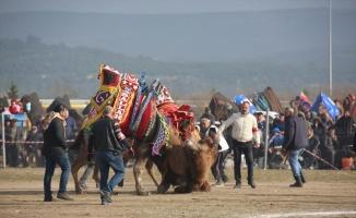 Ayvalık'ta deve güreşi heyecanı