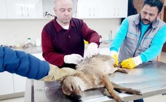 Bursa'da yaralı çakal tedavi altına alındı