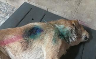 Kocaeli'de silahla vurulan köpek tedaviye alındığı bakımevinde öldü