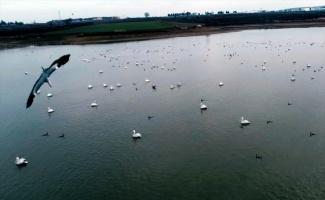 Pelikanlar Kocadere Göleti'nde güzel görüntüler oluşturdu