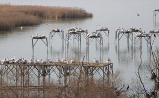 Pelikanlar kuluçkaya yattı