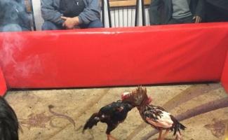Ringe dönüştürülen kahvehanede horoz dövüştürenlere 76 bin lira ceza