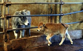 Yerli klon sığırların üçüncü kuşağı da sağlıklı gelişiyor