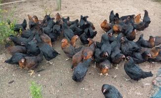 Gezen tavuk desteği için başvurular sona eriyor