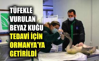 Tüfekle vurulan beyaz kuğu tedavi için Ormanya'ya getirildi