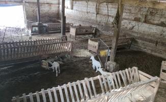 Bursa'da çoban köpeğinin kuzuyu emzirmesi görenleri şaşırtıyor