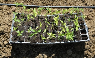 Kandıra'da ata tohumlarından üretilen fideler toprakla buluştu