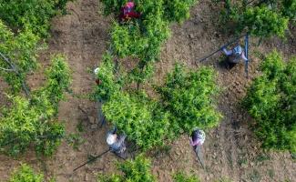 Şeftali üreticisi kaliteyi artırmak için ağaçlarda