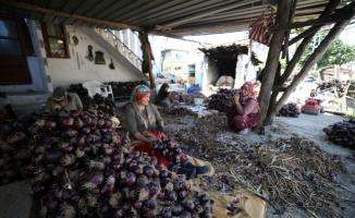 Balıkesir'in hasadı süren tescilli mor soğanı bu yıl da yoğun ilgi görüyor
