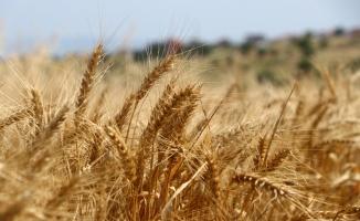 Tekirdağ'da buğdaydaki yüksek rekolte çiftçinin yüzünü güldürüyor
