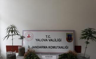 Yalova'da inşaat sahasında ekili Hint kenevirleri ele geçirildi