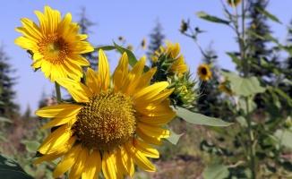 Trakya'da kuraklığa dayanıklı ayçiçeği türleri geliştirme çalışması yürütülüyor