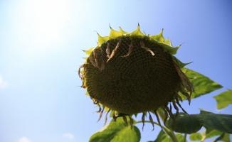 Trakya'da ayçiçeğinde dekar başına 200-350 kilogram ürün bekleniyor