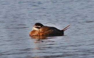 Hersek Lagünü'nde soyu tükenme tehlikesi altındaki dikkuyruk ördeği görüldü