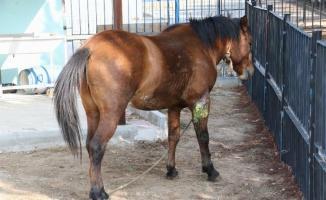 Manisa'daki yaralı atlarından sevindirici haber