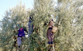 Samanlı Dağları'nın eteklerinde yetiştirdikleri zeytinleri elle toplayarak sofralara ulaştırıyorlar