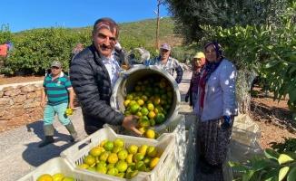Satsuma mandalinanın hasat ve ihracat zamanı