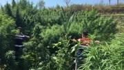 Kocaeli'de çiftlikte 44 kilogram esrar ele geçirildi