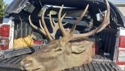 Kocaeli'de kaza yapan pikaptan yasa dışı avlanan kızıl geyik çıktı