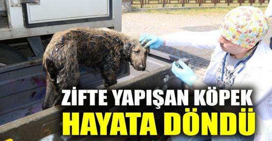 Zifte yapışan köpek hayata döndü